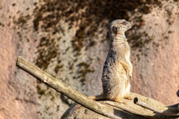 Close-up shot van een waakzame meerkat staande op een rots