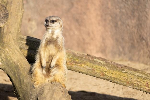 Close-up shot van een waakzame meerkat zittend op een logboek