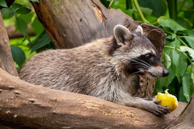Close-up shot van een wasbeer zittend op een boom