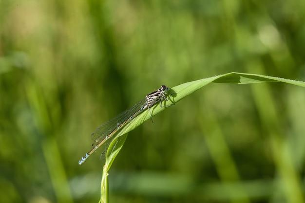 Close-up shot van een waterjuffer die op een blad van een grasblad zit