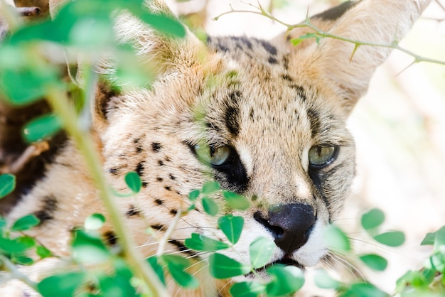 Close-up shot van een wilde caracal met groene ogen