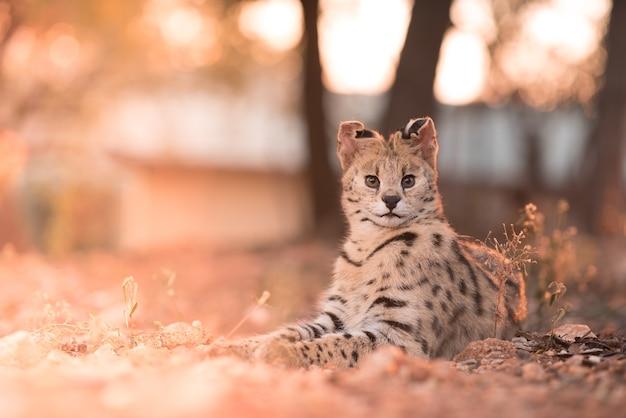 Close-up shot van een wilde kat tot op de grond met zijn oren omhoog