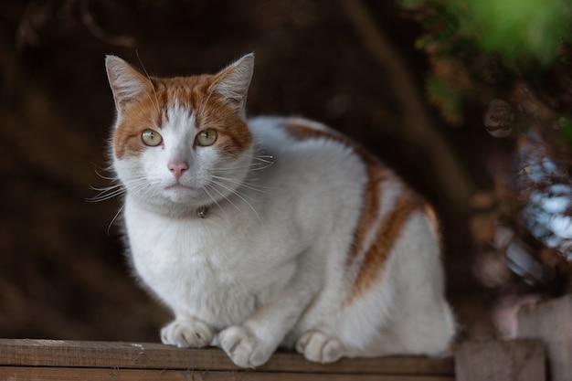Close-up shot van een witte en oranje kat die in een rechte richting kijkt