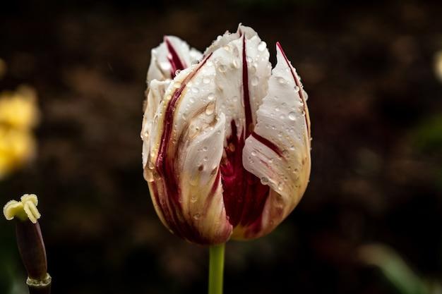 Close-up shot van een witte en rode tulp bloem bedekt met dauwdruppels