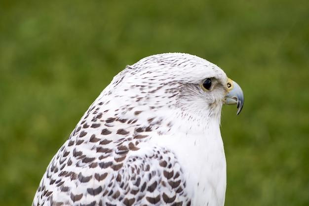 Close-up shot van een witte havik die in een park staat