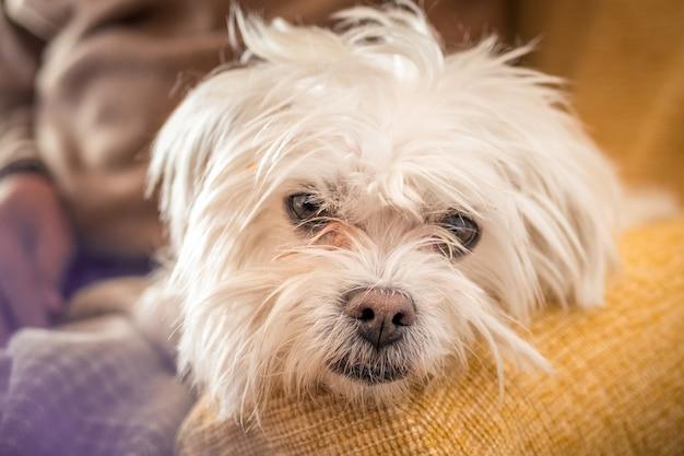Close-up shot van een witte morkie hond op een onscherpe achtergrond