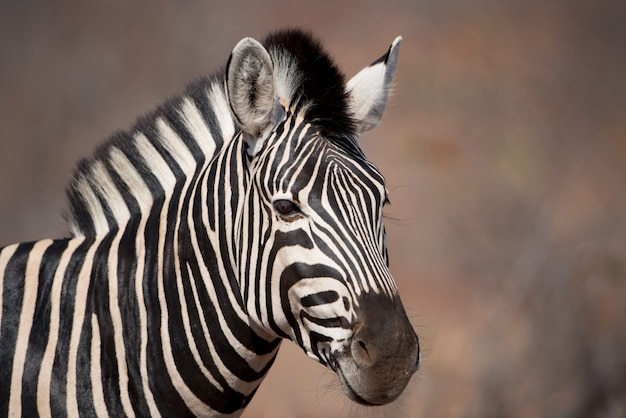 Close-up shot van een zebra