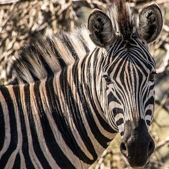 Close-up shot van een zebra