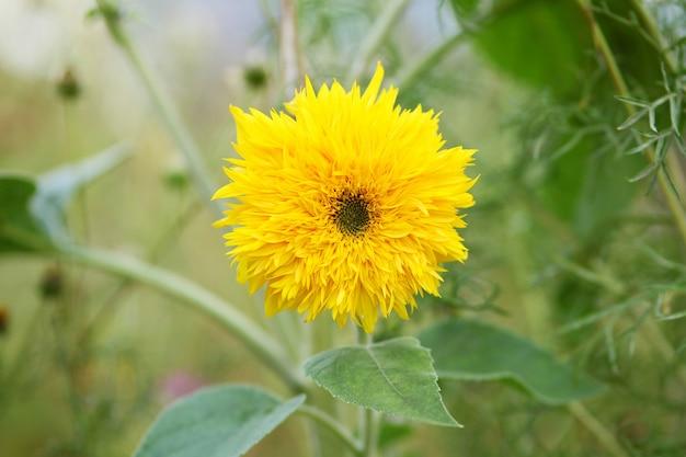 Close-up shot van een zonnebloem groeit in een groen veld