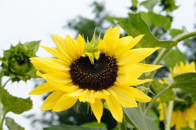 Close-up shot van een zonnebloem met gele bloemblaadjes