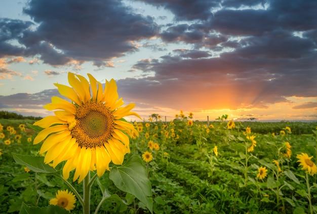 Close-up shot van een zonnebloemhoofd met het veld van velen op het oppervlak
