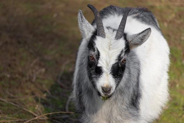 Close-up shot van een zwart-witte geit op een gazon en een knabbel van gras in zijn mond