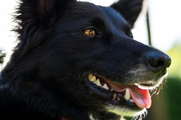 Close-up shot van een zwarte hond met bruine ogen en zijn mond open