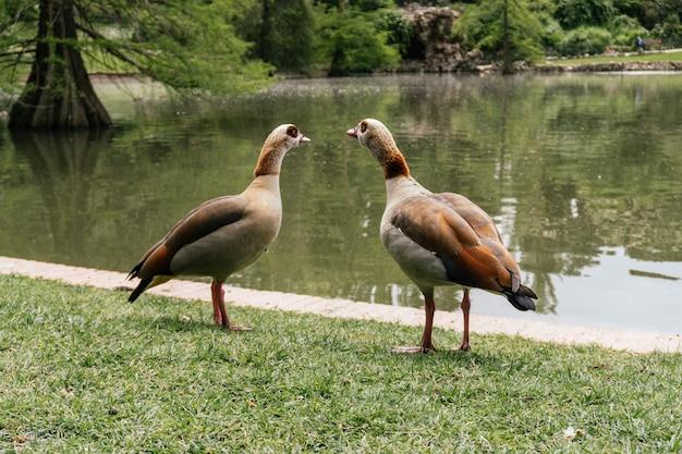 Close-up shot van egyptische ganzen in de buurt van een vijver in een dierentuin