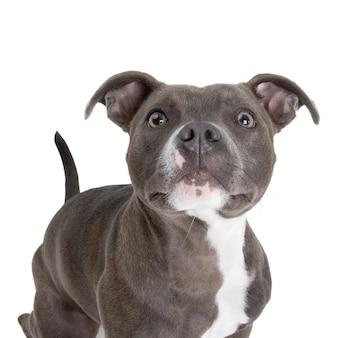 Close-up shot van engelse staffordshire bull terrier met wit