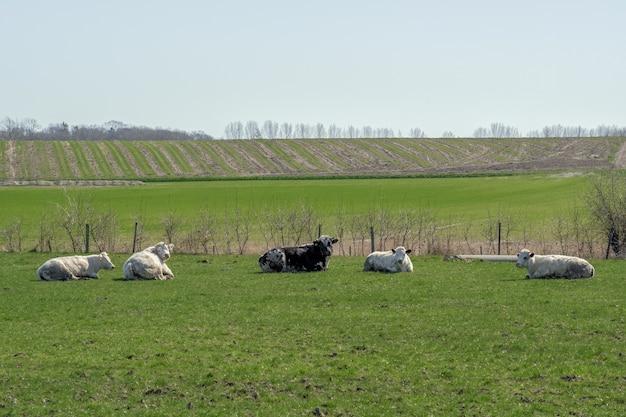 Close-up shot van fice koeien rusten in een groen veld met velden en bomen
