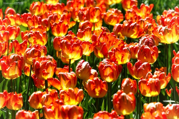 Close-up shot van gele en rode bloemen met een wazig overdag