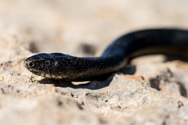 Close-up shot van het gezicht van een volwassen black western whip snake, hierophis viridiflavus, in malta