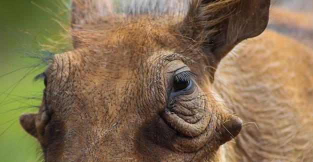 Close-up shot van het gezicht van een wrattenzwijn op onscherpe achtergrond