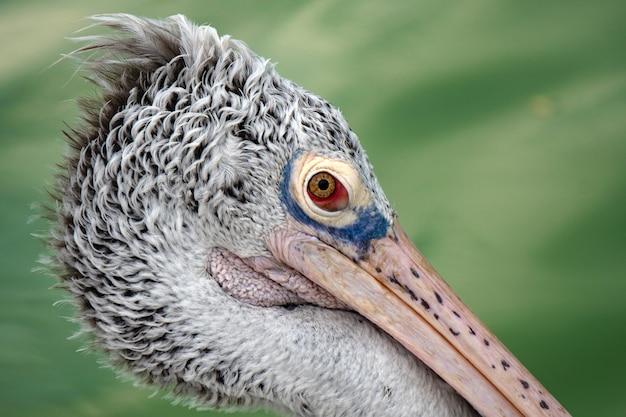Close-up shot van het hoofd van de pelikaanvogel.