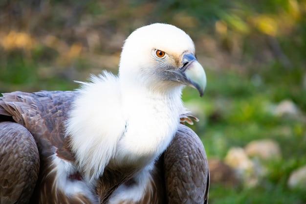 Close-up shot van het hoofd van een gier met waakzame ogen