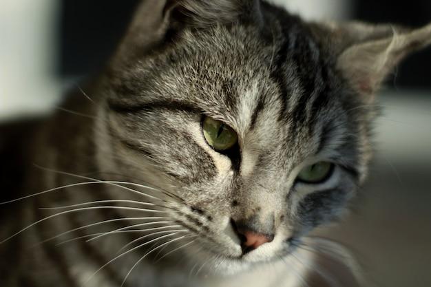 Close-up shot van het hoofd van een grijze kat met zwarte patronen