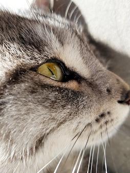 Close-up shot van het hoofd van een grijze kat