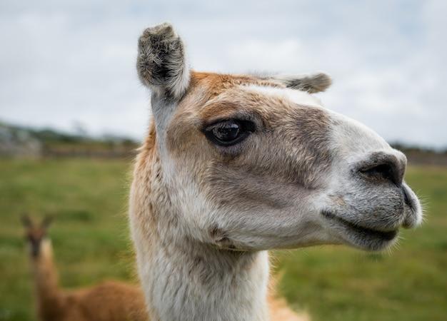 Close-up shot van het hoofd van een lama