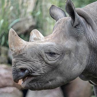Close-up shot van het hoofd van een neushoorn overdag