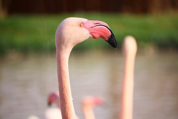 Close-up shot van het hoofd van een roze flamingo voor het water