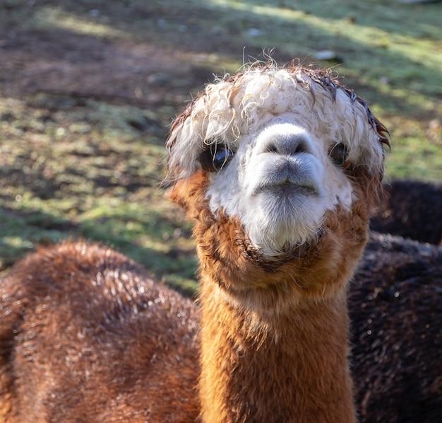 Close-up shot van het hoofd van een schattige bruine lama die in het veld staat