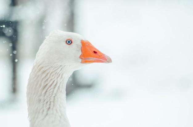 Close-up shot van het hoofd van een schattige gans met de wazige sneeuwvlok op de achtergrond