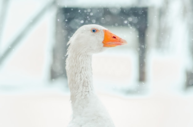 Close-up shot van het hoofd van een schattige gans met de wazige sneeuwvlok