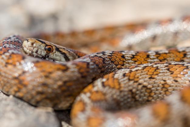 Close-up shot van het hoofd van een volwassen luipaardslang of europese rattenslang, zamenis situla, in malta
