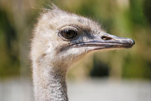 Close-up shot van het hoofd van een witte struisvogel