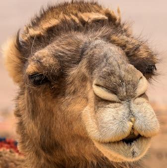 Close-up shot van het schattige gezicht van een kameel