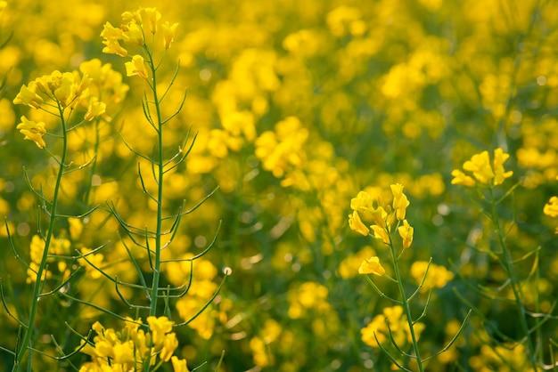 Close-up shot van koolzaadbloemen in het veld
