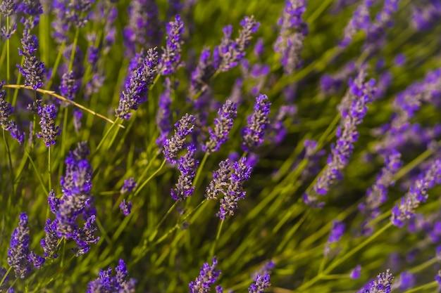 Close-up shot van lavendelvelden