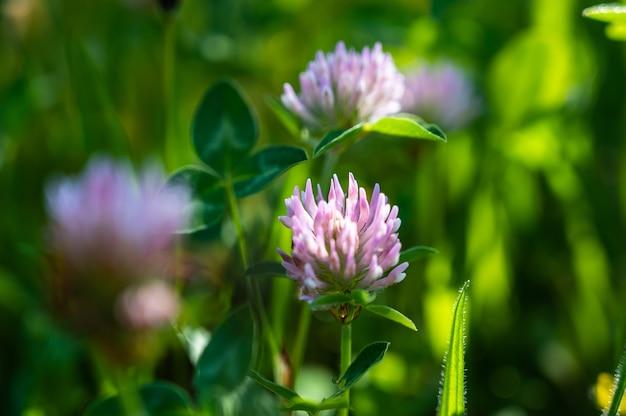 Close-up shot van mooie paarse speldenkussen bloemen in een veld
