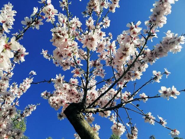 Close-up shot van mooie witte bloemen op amandelbomen en een blauwe hemel