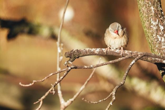 Close-up shot van mus met rode snavel neergestreken op een boomtak