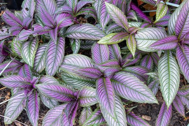 Close-up shot van perzische schildplant
