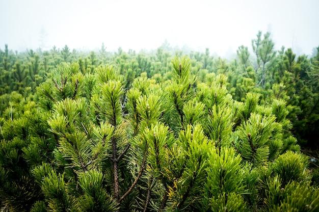 Close-up shot van pijnbomen in de mist