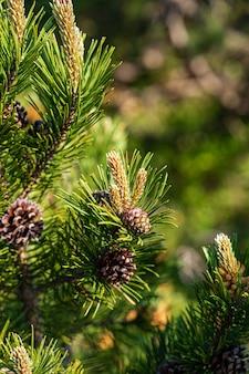 Close-up shot van pijnbomen in zwarte woud, duitsland