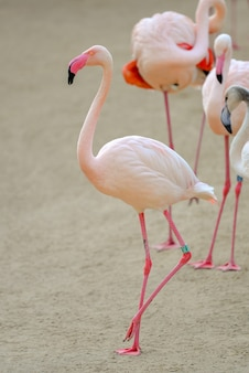 Close-up shot van roze flamingo's