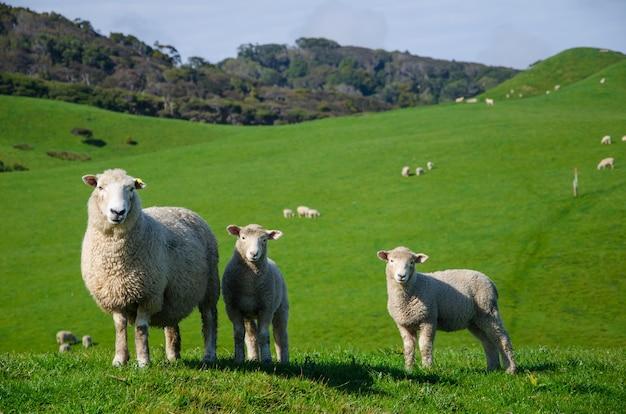 Close-up shot van schapen in een grasland Gratis Foto