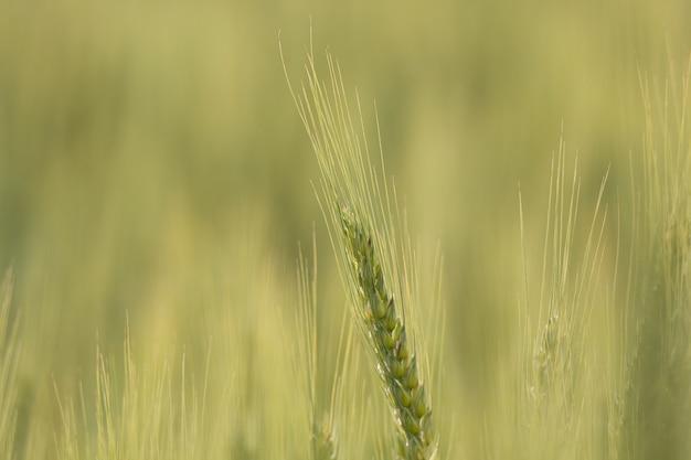 Close-up shot van triticale planten met onscherpe achtergrond n