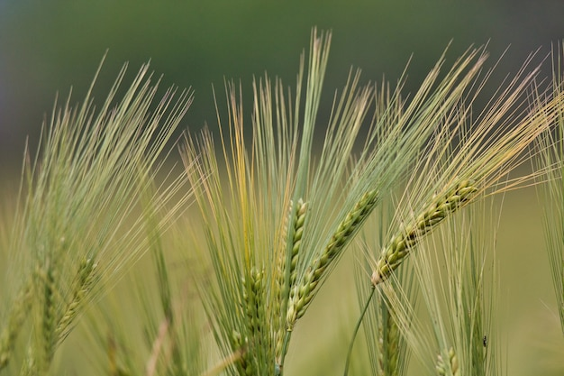 Close-up shot van triticale planten