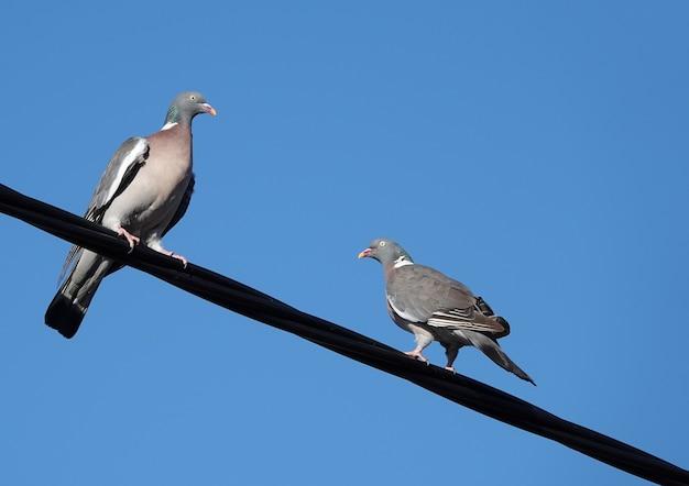 Close-up shot van twee duiven neergestreken op kabeldraad onder een blauwe hemelachtergrond