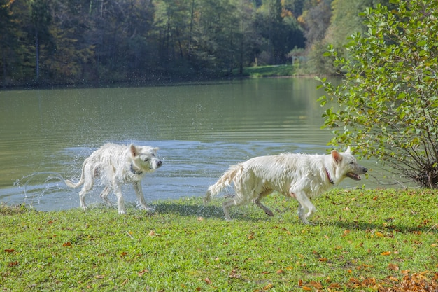Close-up shot van twee herders die uit het meer komen op een groene weide